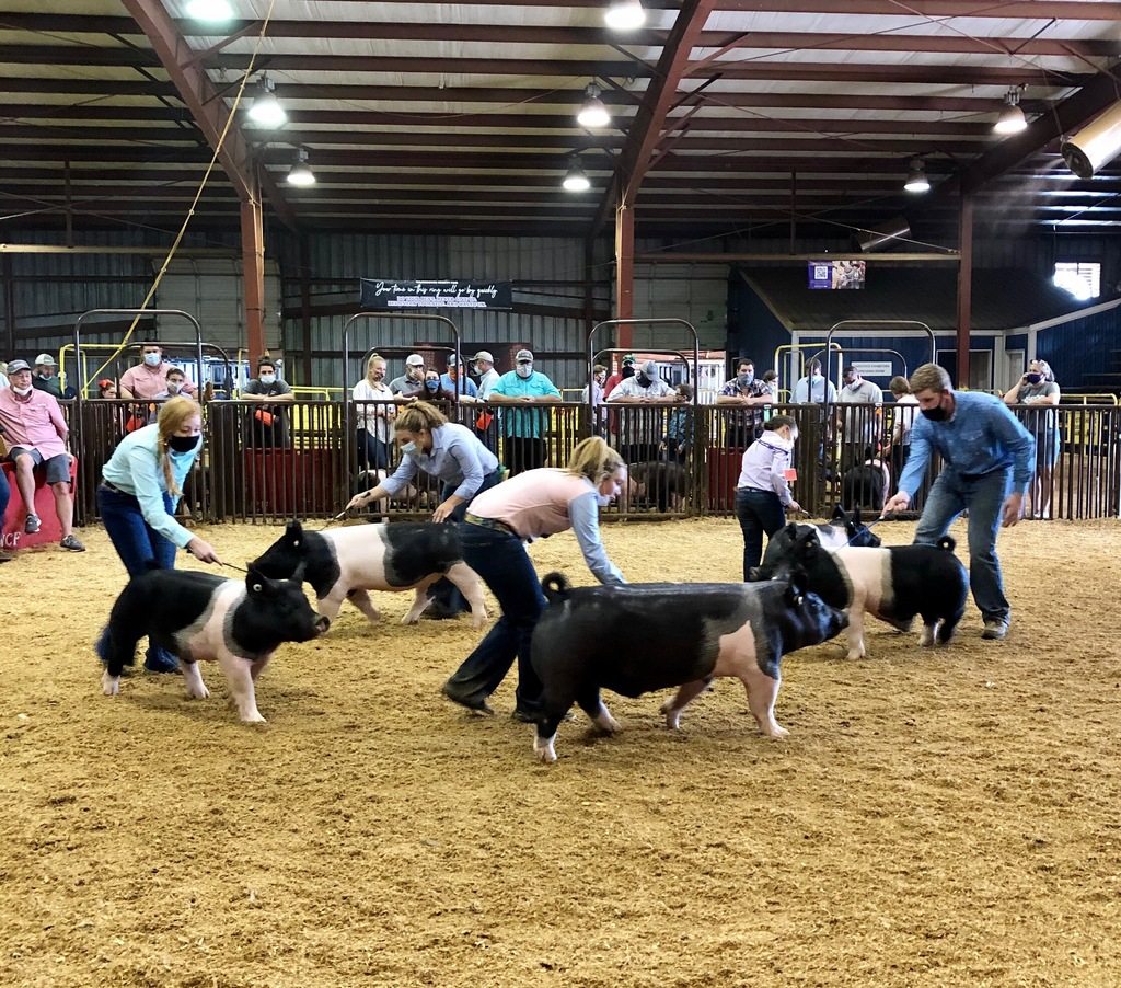 Students showing their hogs in an arena